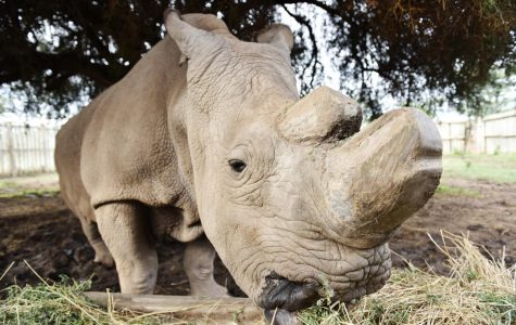 Sudan, last male rhino of his species, in discouraging health