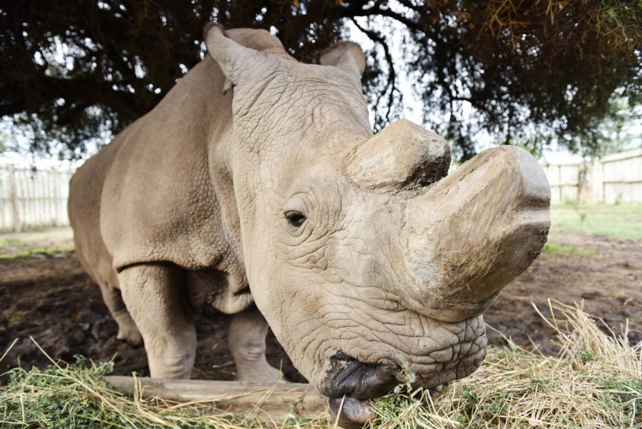 Sudan, the last male northern white rhino, feeds himself inside an enclosure at Ol Pejeta Conservancy in Nanyuki, Kenya, on April 18, 2015.