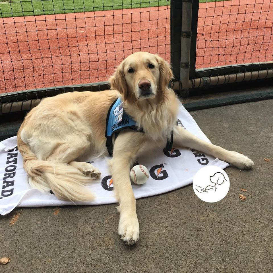 REMINGTON, a service dog who graduated through UNC WIlmington's dog service program, relaxing in North Carolina's dugout.