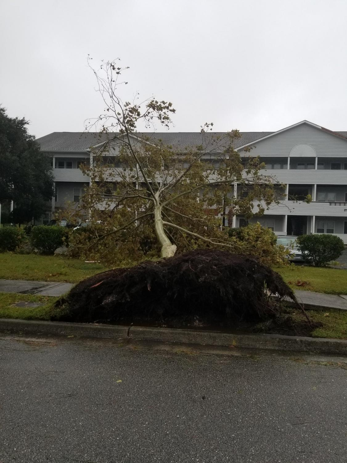 An+uprooted+tree+lies+still+next+to+a+road+in+the+Hawthorne+at+New+Center+apartment+complex+off+New+Center+Drive+in+Wilmington+as+a+result+of+high+winds+and+rain+brought+by+Hurricane+Florence.