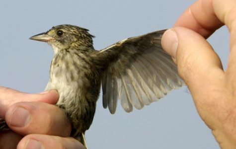 UNCW ornithologists awarded grant to study sparrows