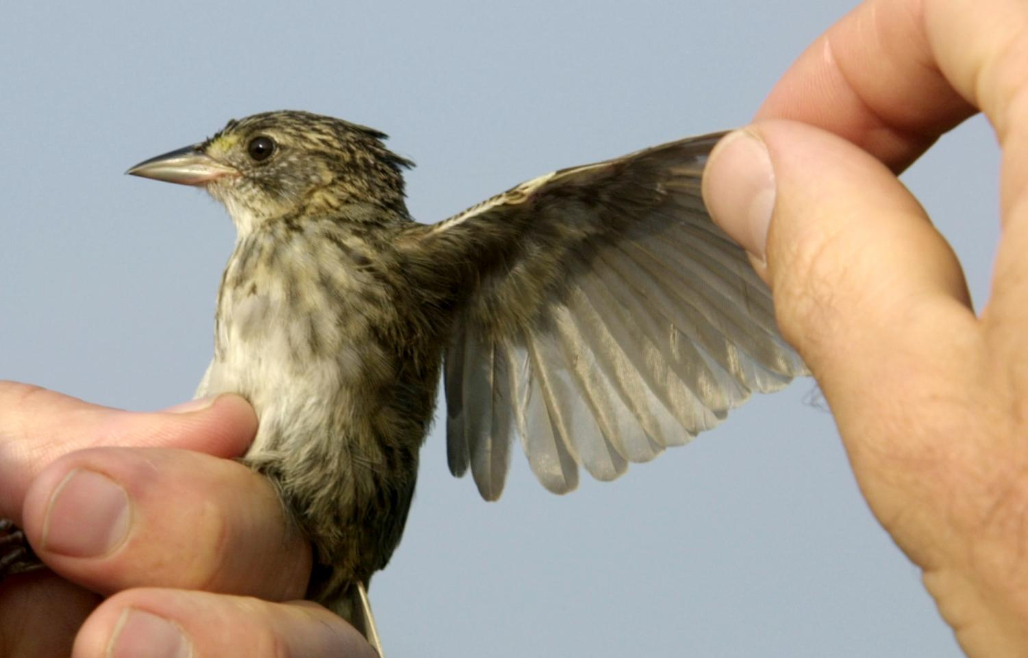 Professor Chris Hill, an ornithologist at Coastal Carolina University, inspects a seaside sparrow during a field study on a salt marsh on Waites Island.