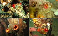 New species of sea squirt named after UNCW professor