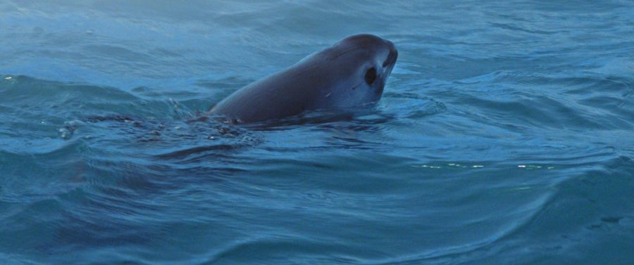 The Vaquita, smallest and most elusive whale on earth.